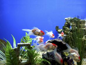 Har guldfisk och slöjstjärt med tillhörande växtlighet och annan inredning.